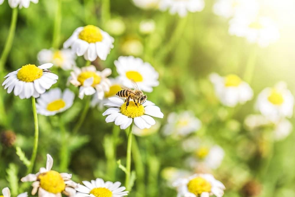 Abeja polinizando la flor